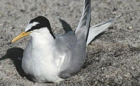 A Little Tern is a special visitor to the Kingscliff Beach. Photo Contributed
