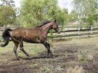 THE first horse to die of Hendra virus in two years was killed on the New South Wales mid-north coast on Saturday.