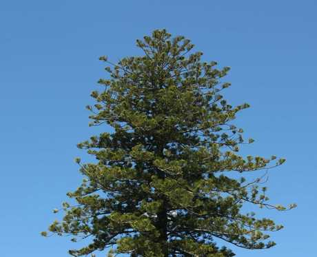 The Norfolk pine grows at 3 St Georges Bay Rd and could hamper future development. 