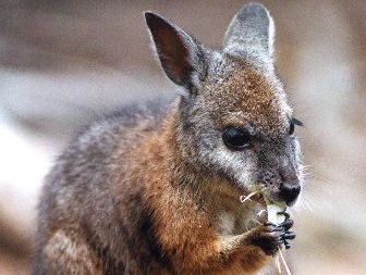 There are concerns some people may be keeping Dama wallabies as pets.