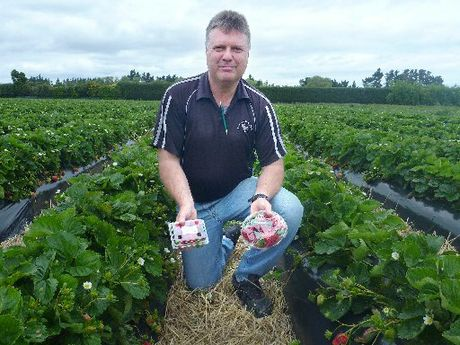 STRAWBERRY FIELDS: Windermere Gardens owner Tony Boswell has high hopes for this season's crop. PHOTO/ LAUREL STOWELL