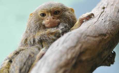 One of the six pygmy marmosets which now call the Darling Downs Zoo home.