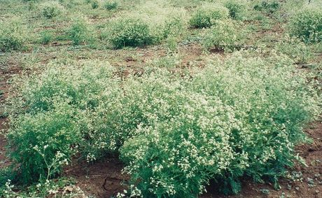 Parthenium is one of the species of concern and the council is asking people to be vigilant and report any sightings.