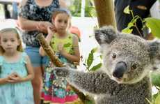 IN RECOVERY: Rescued koala 10-month-old Lilo soaks up the attention outside the Ipswich Art Gallery on the weekend.