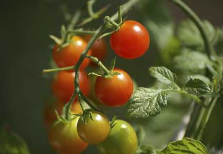 Tomatoes need the support of stakes