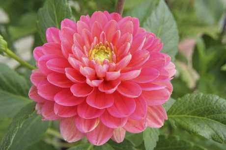Earwigs love dahlias