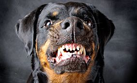 A file image of a rottweiler.
