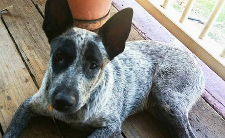 RETURNED: Zarly, a six-month-old female blue stumpy tail cattle dog, was returned to her Muirlea home after seven days.