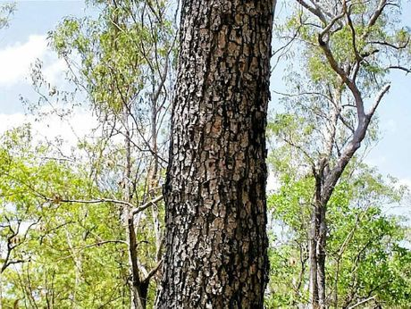 They don't get any tougher than the red ironbark tree.