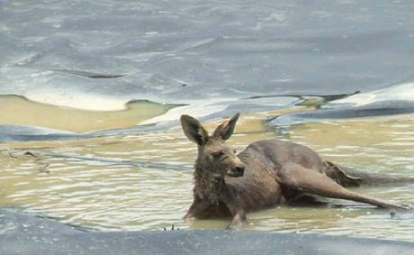 The exhausted kangaroo in the Metgasco holding pond.