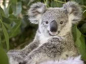 "KOALA advocates have hit back at Sunshine Coast councillor Tony Wellington's statement there are ""more koalas in the Noosa area than most people realise""."