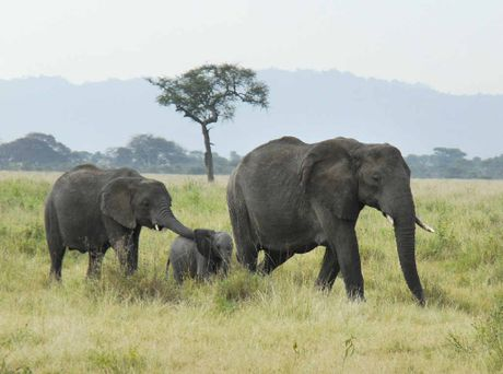ESSENCE OF LIFE: African elephants walk to water at Serengeti National Park.