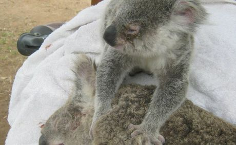 A baby koala clings to its dead mother after being rescued.