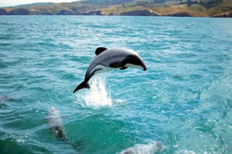 Hector's dolphins have been sighted occasionally.