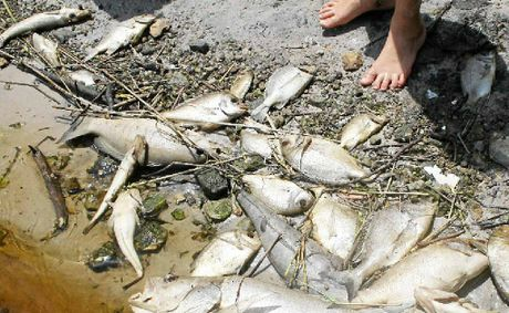 Fish kill at Tallow tea tree lake on Saturday. Supplied picture