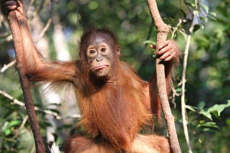 A LOT LIKE US: At the Orangutan International Foundation attendants care for the animals while they wait to be returned to the wild.
