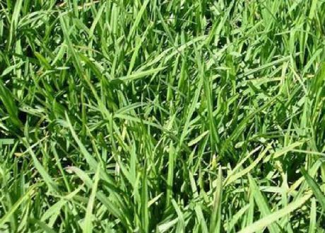 GRAZING GRASS: Young leafy kikuyu nearly ready to graze.