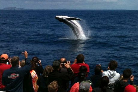 Humpback Whale in Bay of Islands.