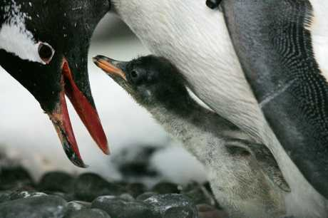 One of the seven newly-hatched Gentoo Penguins at Kelly Tarton's.