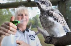 DON'T FLAP: Wildlife carer Beverley Clarke sprays water on a rescued bird to keep it cool.