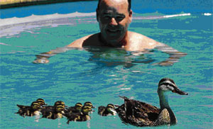 Kevin Botherway, from Napier, with a mother duck and her ducklings, which have taken up residency in his pool.
