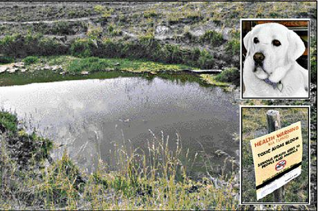 A stagnant pond near the Tukituki River on Te Mata Mangateretere Rd, where beloved labrador Billy (inset) was allegedly poisoned by toxic algae after going for a swim.