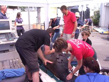 The Massey University team create a makeshift theatre at Marineland to treat Makea.  SUPPLIED