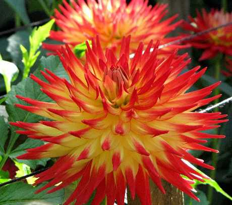 Peter Burrell has been involved with dahlias for about 25 years.