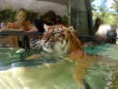 Sumatran tigers swim