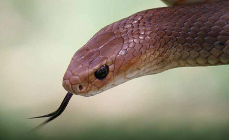 Warwick snake catcher claims there are a large number of snakes in the region.
