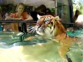 COOLING off in the pool is not just for humans. The Sumatran tigers at Australia Zoo have been battling the heat with regular swims this summer.