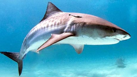 BEWARE: Tiger sharks are second on the list behind great whites regarding recorded attacks on humans.