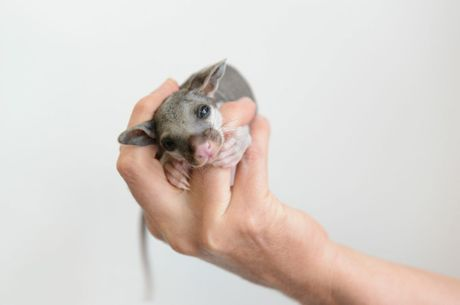 A brush tail possum, which was found on the footpath, at the RSPCA on Wednesday. Photo: Sarah Harvey / The Queensland Times