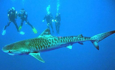 ONCE IN A LIFETIME? A tiger shark swims serenely passed divers at the HMAS Brisbane wreck off Mooloolaba.
