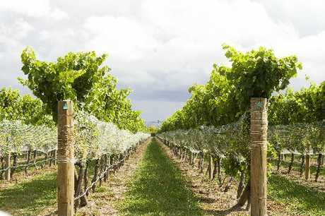 RECIPE FOR SUCCESS: Dry, dusty conditions yield vines carrying bunches of small berries packed with flavour.