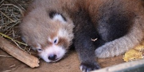 Rare red panda born at Auckland zoo.