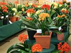The Toowoomba Clivia Society Inc invites you to the 2013 Clivia Show to be held at the TAFE Horticultural Pavilion during Carnival of Flowers week. FREE ENTRY.