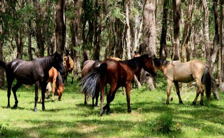 A LIVELY HERD: The herd of Guy Fawkes Heritage Horses (Walers) are kept at a property near Ebor that mirrors more or less where they are mustered. PHOTO: Debrah Novak