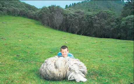 After months of searching, Whangamomona's fearless hunters have finally found two unsuspecting ewes.