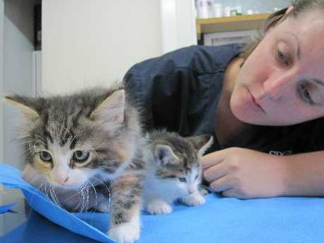 FLUFFY STUFF: Whangarei SPCA staff member Kylie Small with two kittens fostered by fellow staff member Andrea Honeybun. These kittens are still too young for homes.