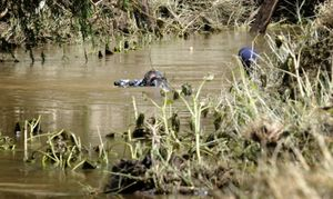 Police divers searching Sandy Creek near Gatton yesterday for the missing men.