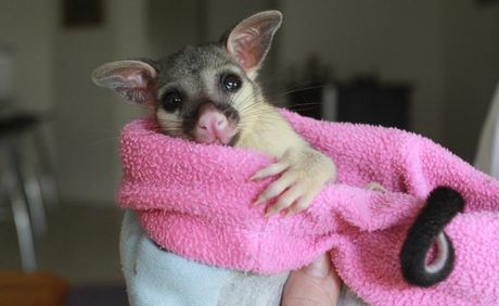 'Mimi' the baby brushtail possum.