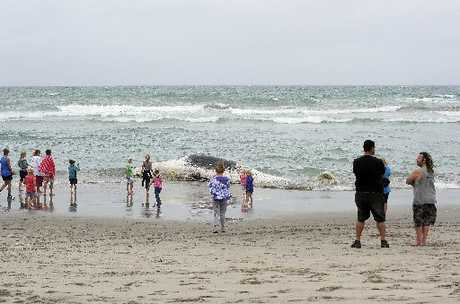 FALSE ALARM: The rotting body of a sperm whale was mistaken for a capsized yacht off Papamoa Beach yesterday afternoon.