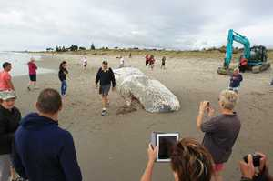 A dead sperm whale washed up on Papamoa Beach.
