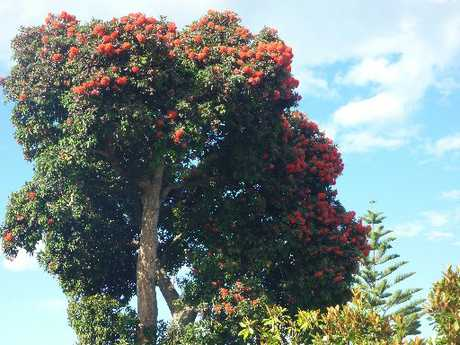 STURDY: Red flowering gums usually grow into a tidy, rounded shape.