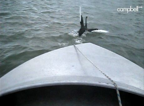 Footage shows a swan about to be hit by a jetboat in Tauranga Harbour.