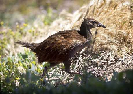 DOGGED SPECIES: The weka population has held on in the Russell region, but is under attack from dogs.