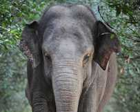 Siam, Australia&#39;s oldest elephant, has died at Australia Zoo.
