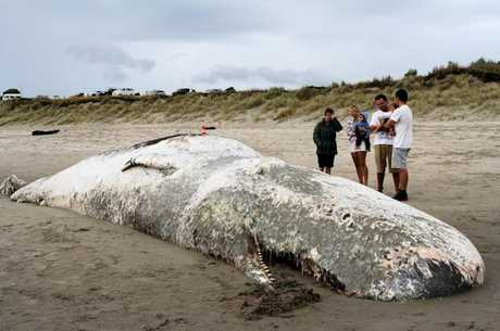 The dead Sperm Whale on Papamoa Beach.