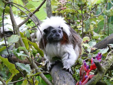Four cotton-top tamarin monkeys will  be moving in to Butterfly Creek